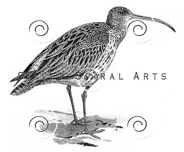 Vintage Curlew Bird Illustration - 1800s Birds Images.
