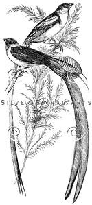 Vintage Widow Birds Illustration - 1800s Bird Images