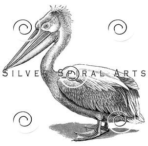 Vintage Pelican Bird Illustration - 1800s Pelicans Birds Images.