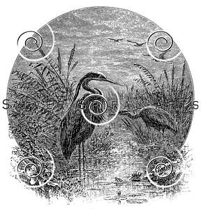 Vintage Heron Birds Illustration - 1800s Bird Images.