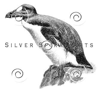 Vintage Great Auk Extinct Bird Illustration - 1800s Birds Images.