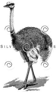 Vintage Ostrich Bird Illustration - 1800s Birds Images.