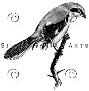 Vintage Grey Shrike Bird Illustration - 1800s Birds Images.