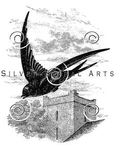 Vintage Swift Bird Illustration - 1800s Birds Images.