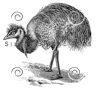 Vintage Emu Bird Illustration - 1800s Birds Images.