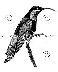 Vintage Hummingbird Bird Illustration - 1800s Birds Images.