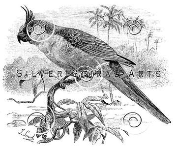 Vintage Parakeet Parrot Bird Illustration - 1800s Parrots Birds Images.