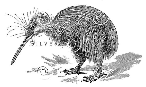 Vintage Kiwi Bird Illustration - 1800s Birds Images.