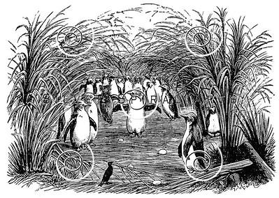 Vintage Rockhopper Penguin Illustration - 1800s Penguins Images.