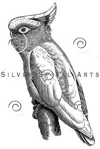 Vintage Cockatoo Bird Illustration - 1800s Birds Images.