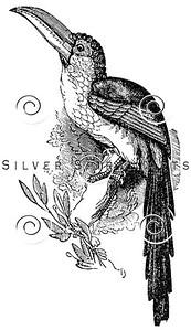 Vintage Toucan Birds Illustration - 1800s Parrot Bird Images