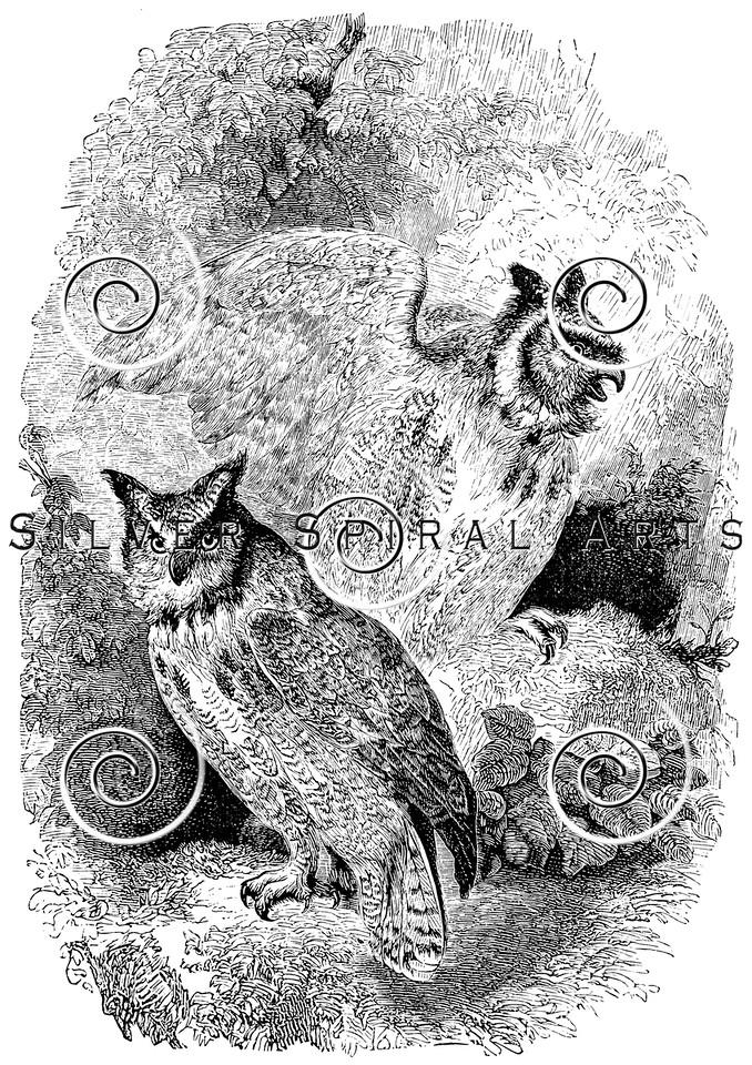 Vintage Owl Birds Illustration - 1800s Owls Bird Images