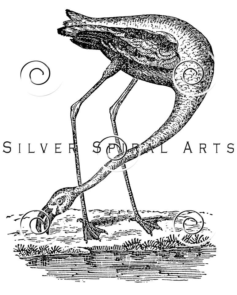 Vintage Flamingo Bird Illustration - 1800s Flamingos Birds Images.