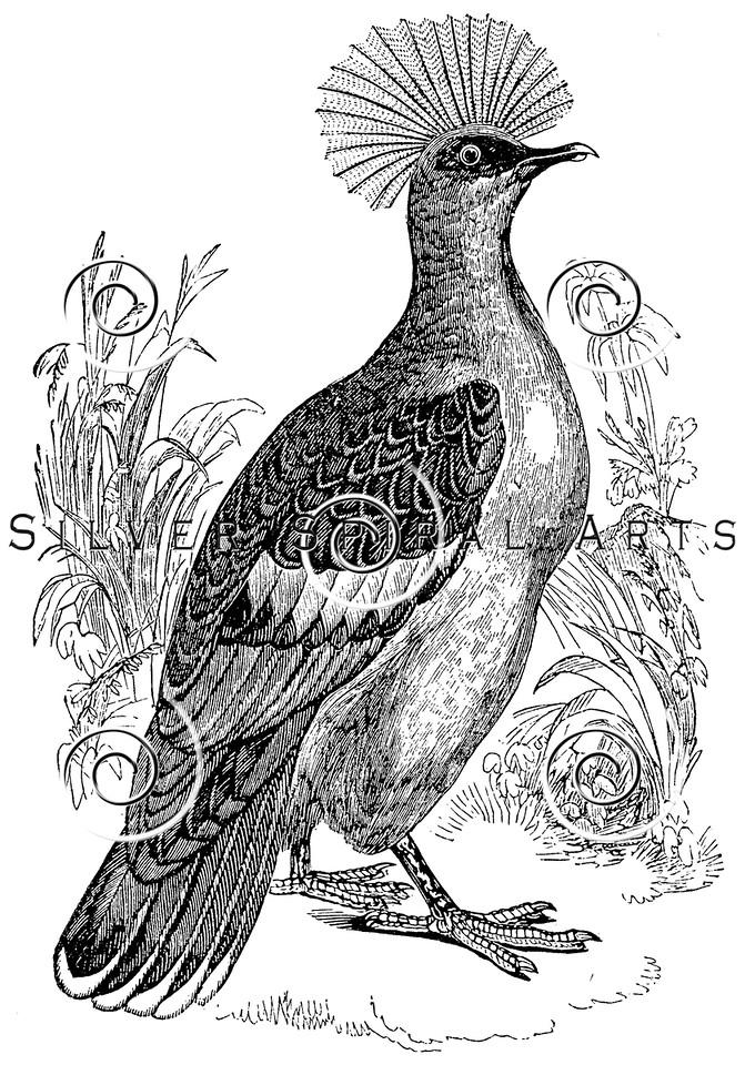 Vintage Pigeon Birds Illustration  - 1800s Pigeons Bird Images