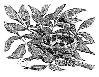 Vintage American Redstart Bird Illustration - 1800s Birds Nest Images.