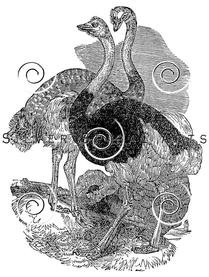 Vintage Ostrich Bird Illustration - 1800s Ostriches Birds Images.