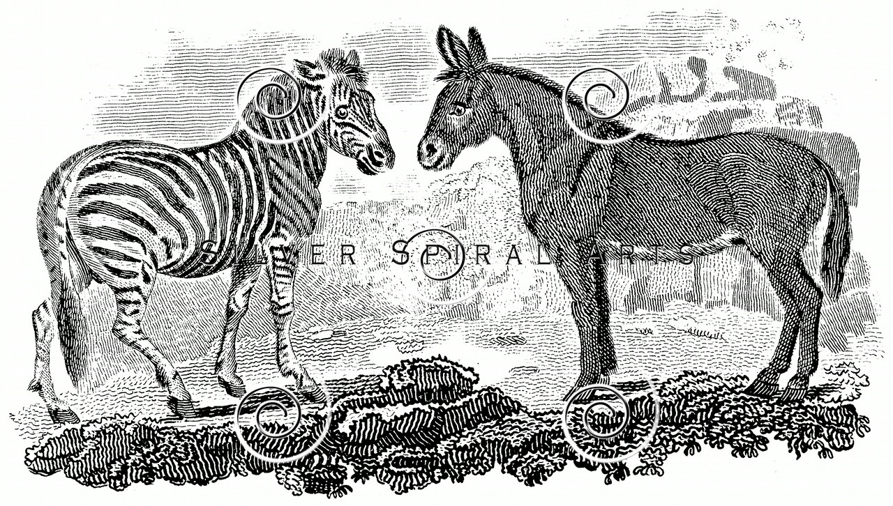 Vintage Zebra Mule Illustration - 1800s Animals Images.