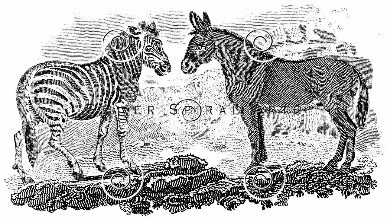 Vintage Zebra Mule Illustration - 1800s Animals Images.