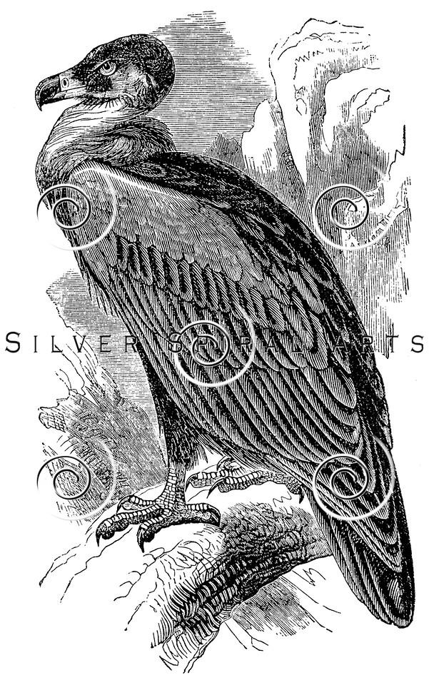 Vintage Vulture Birds Illustration - 1800s Bird Vultures Images