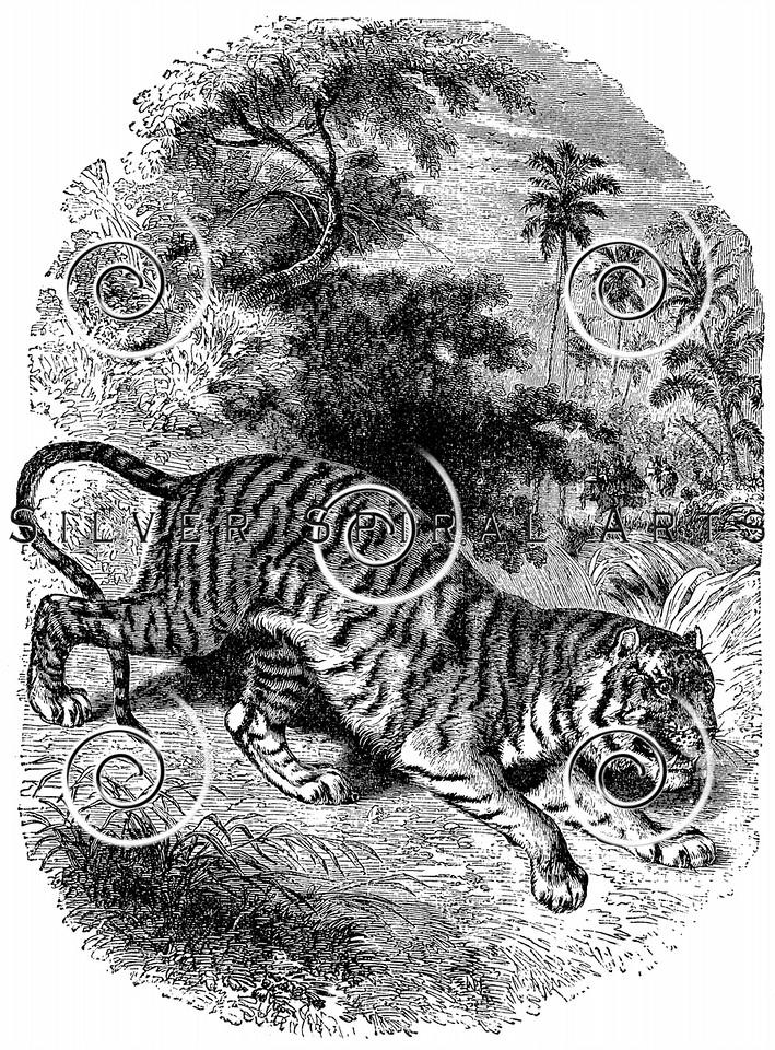 Vintage Tigers Illustration - 1800s Tiger Images
