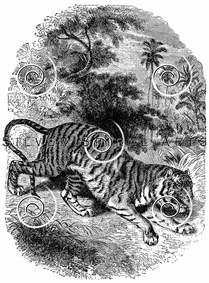 Vintage Tigers Illustration - 1800s Tiger Images