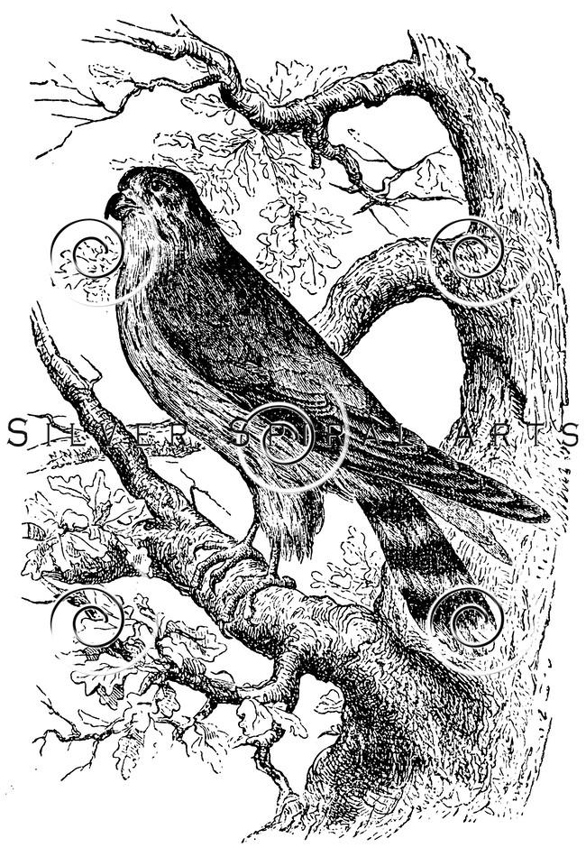 Vintage Merlin Birds Illustration - 1800s Bird Images