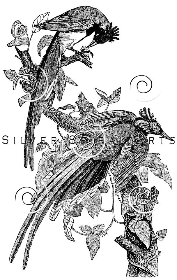 Vintage Jay Birds Illustration - 1800s Bird Images