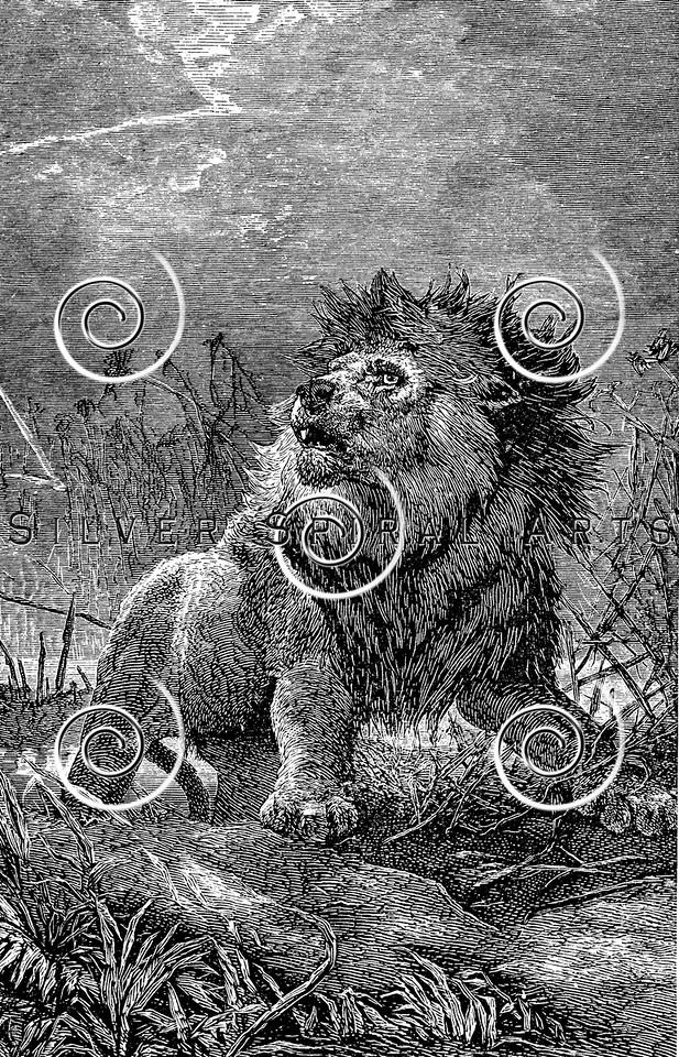 Vintage Lion Illustration - 1800s Lions Images.