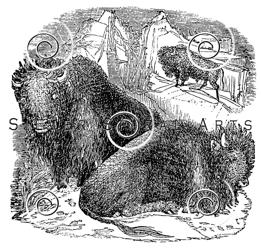 Vintage Buffalo Bison Skull Illustration - 1800s Skeleton Images.