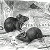 Vintage Mice Illustration - 1800s Mouse Images.
