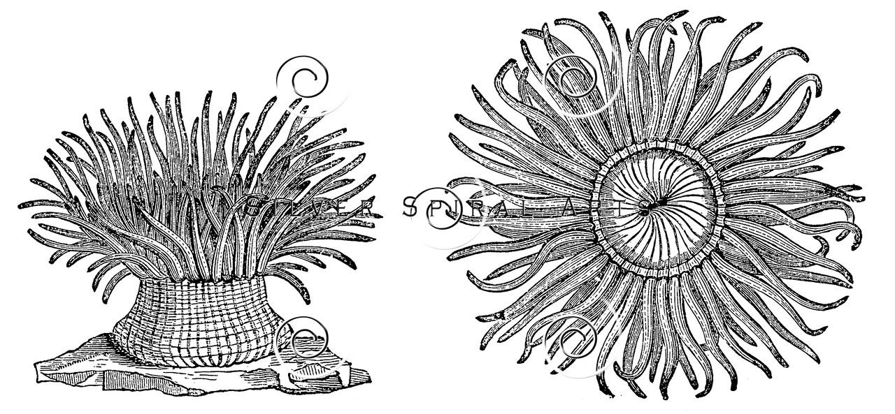 Sea Anemones Drawing Vintage Sea Anemones