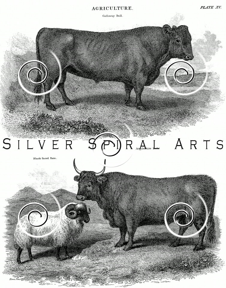 Vintage Bull Cow and Ram Illustration - 1800s Cows Sheep Images.