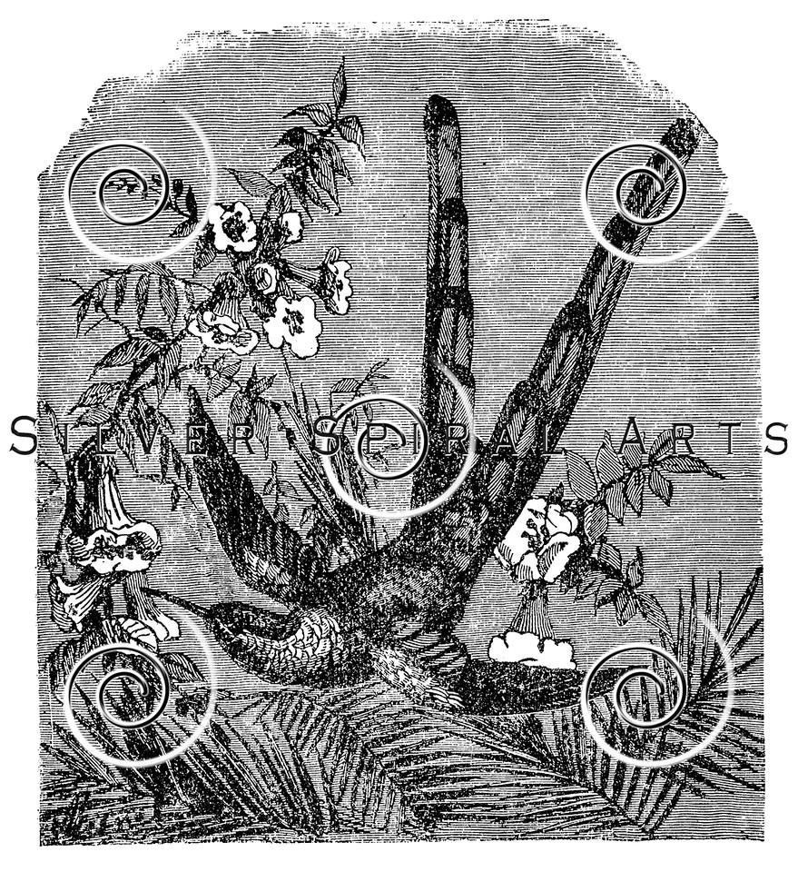 Vintage Hummingbird Illustration - 1800s Humming Bird