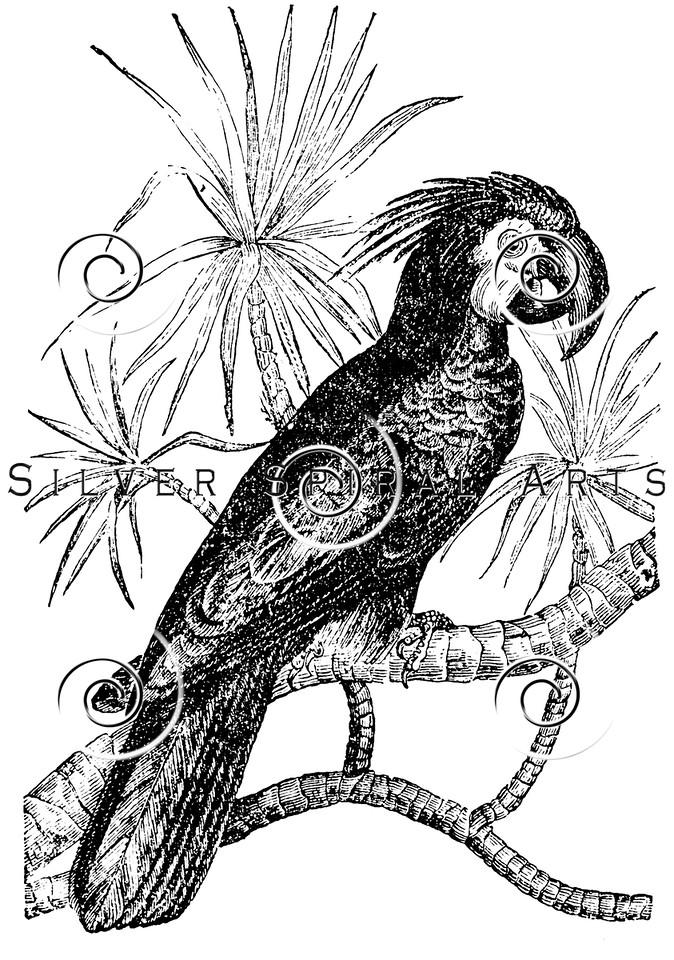 Vintage Cockatoo Parrots Illustration - 1800s Parrot Bird Images