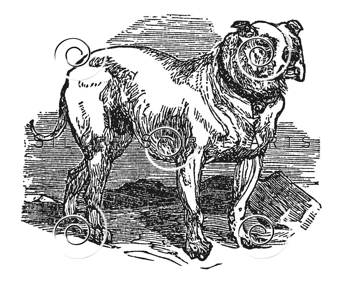 Vintage Bull Dog Illustration - 1800s Bulldog Dogs Images.