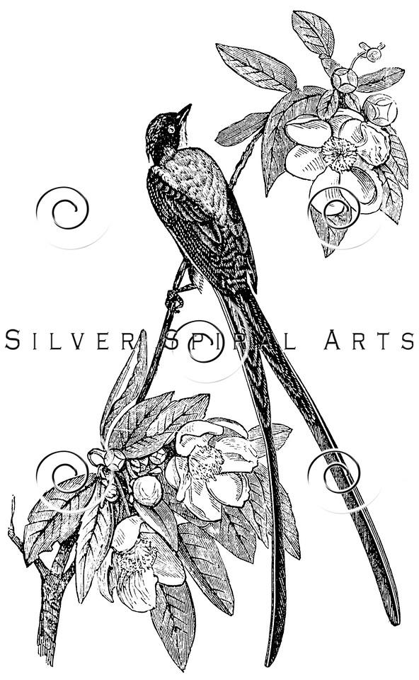 Vintage Flycatcher Birds Illustration - 1800s Bird Images