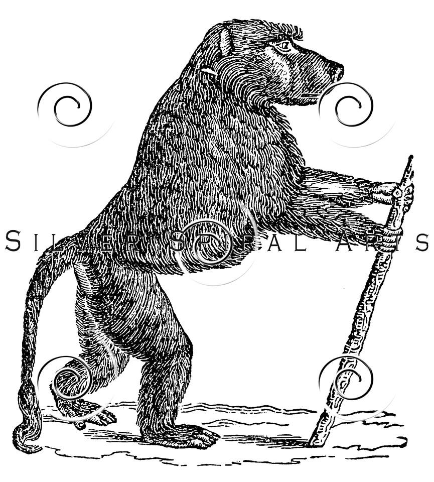 Vintage Baboon Monkey Mandrill Illustration - 1800s Monkeys Images.