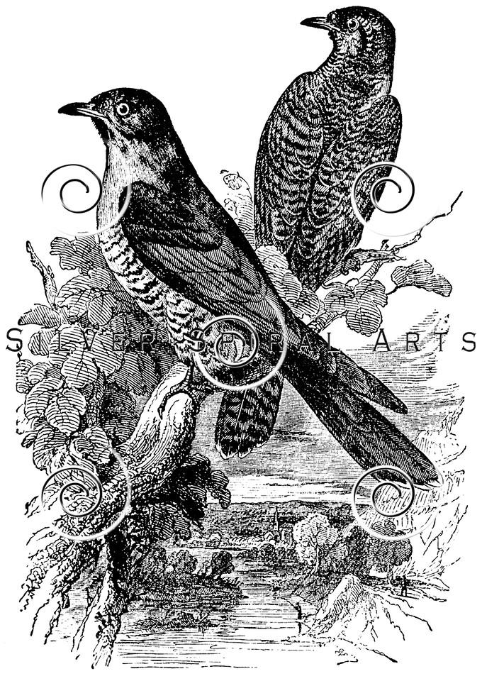 Vintage Cuckoo Birds Illustration - 1800s Bird Images