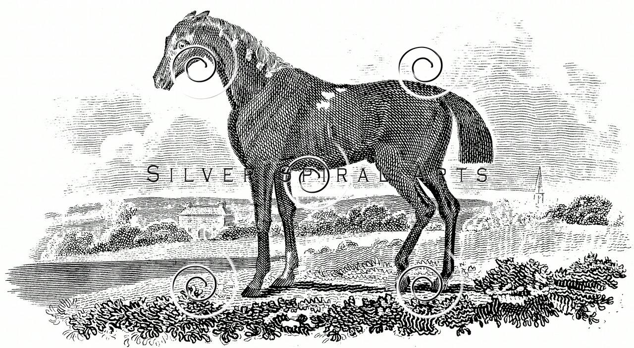 Vintage Race Horse Illustration - 1800s Horses Images.