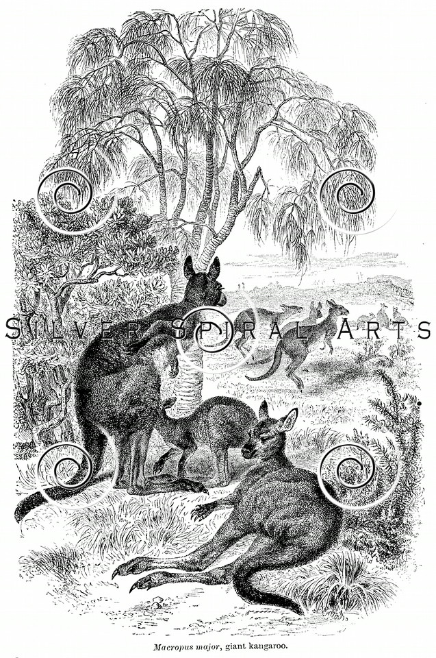 Vintage Kangaroo Illustration - 1800s Kangaroos Images.