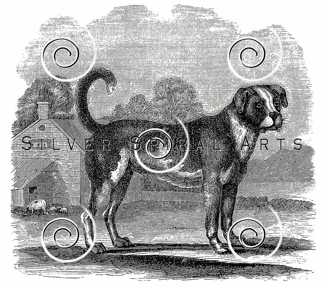 Vintage Bull Mastiff Dog Illustration - 1800s Dogs Images