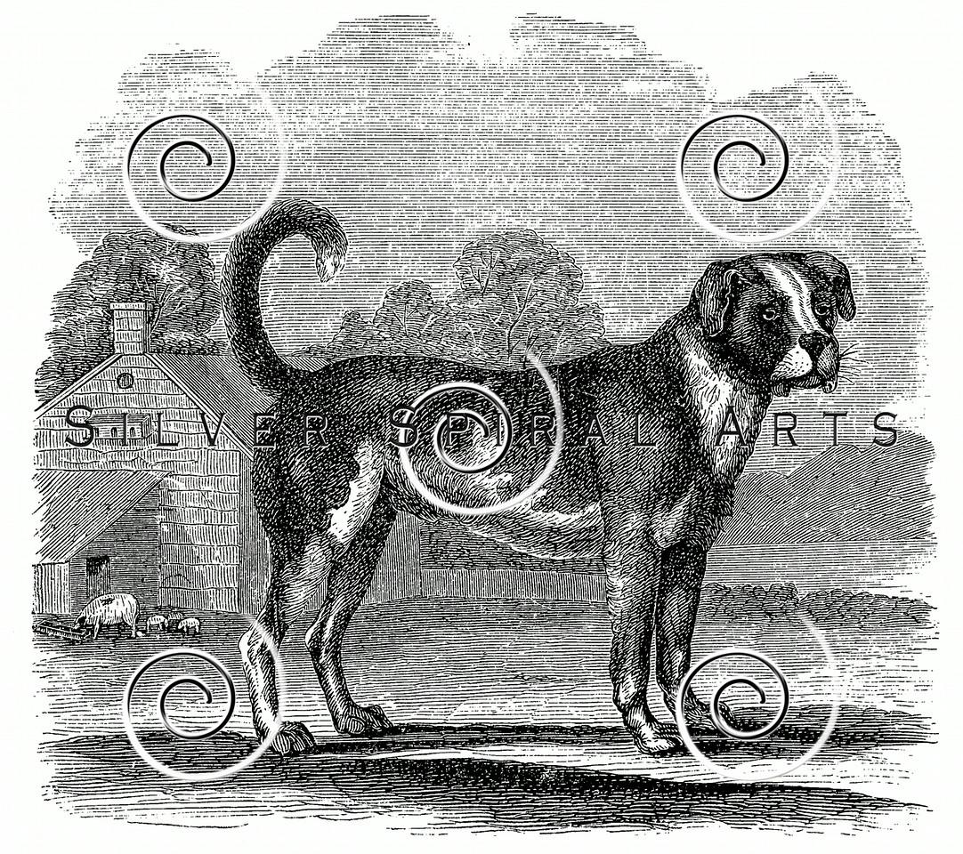 Vintage Bull Mastiff Dog Illustration - 1800s Dogs Images