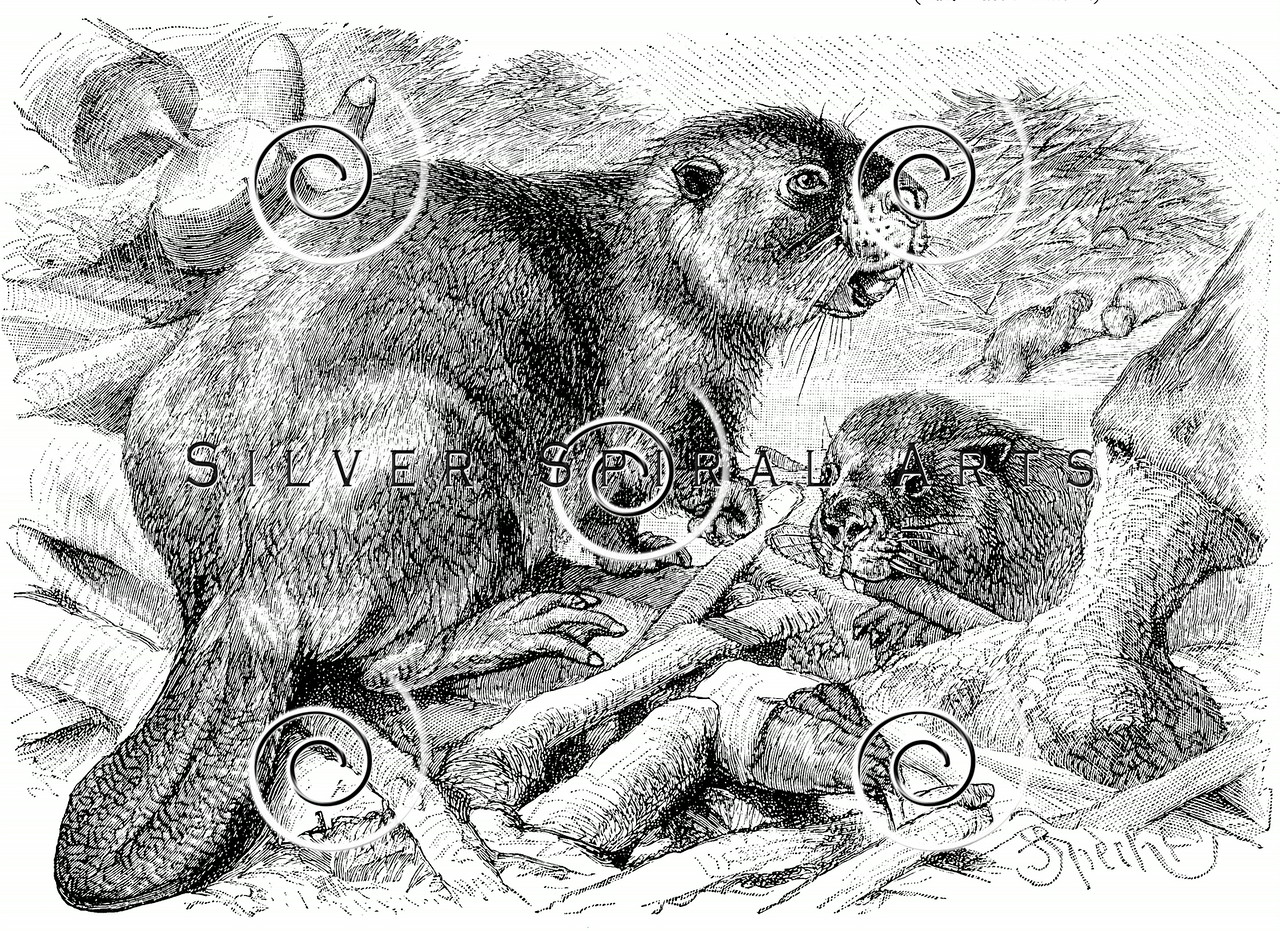 Vintage Beaver Illustration - 1800s Beavers Images.