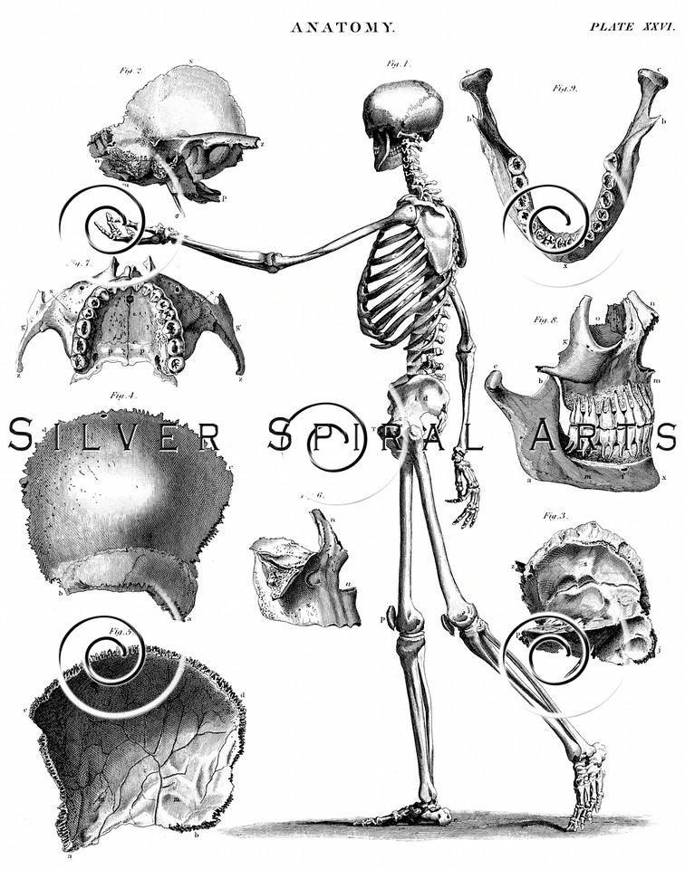 Vintage Skeleton Skull Steel Engraving print from THE ENCYCLOPEDIA BRITANNICA  by A & C Black, published in Edinburgh, Scotland in 1842. The natural patina, age-toning, imperfections, and old paper antiquing of this vintage 18th century illustration are preserved in this image.