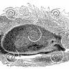 Vintage Hedgehogs Illustration - 1800s Hedgehog Images