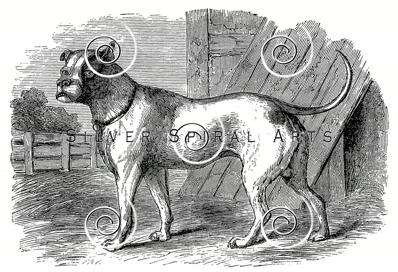 Vintage Bulldog Illustration - 1800s Dogs Images