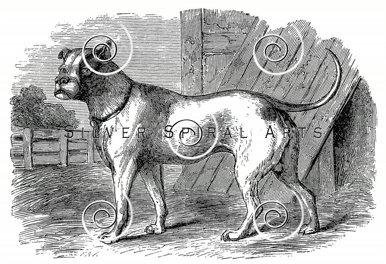 Vintage Bulldog Illustration - 1800s Dogs Images