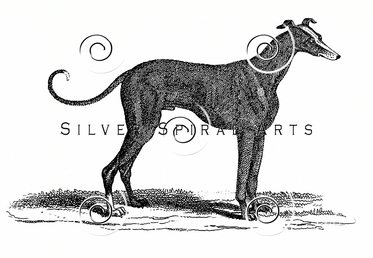 Vintage Greyhound Dog Illustration - 1800s Dogs Images.