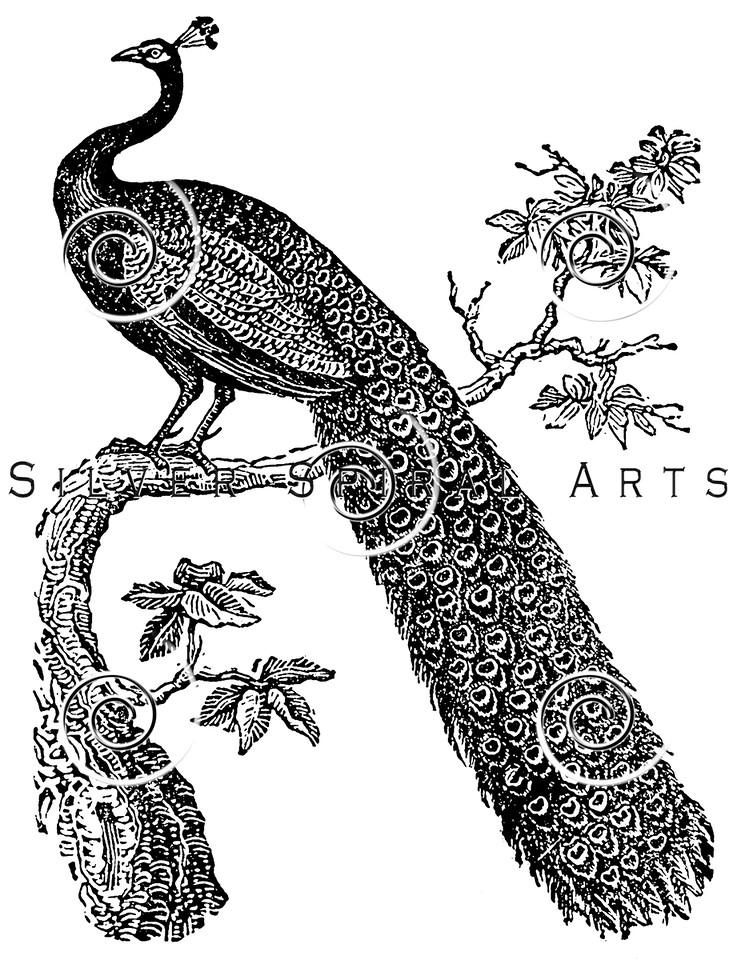 Vintage Peacock Bird Illustration - 1800s Peacocks Birds Images.