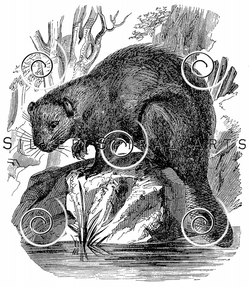 Vintage Beavers Illustration - 1800s Beaver Images